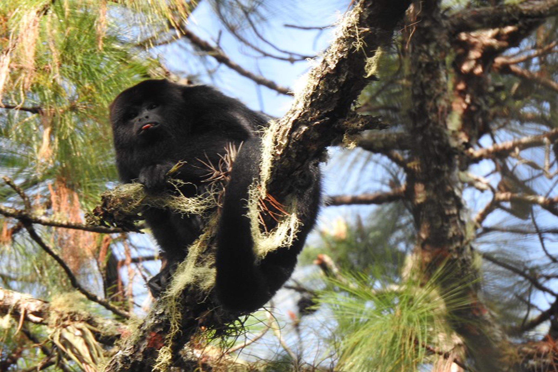Mono aullador negro, Alouatta pigra