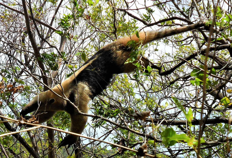 Hormiguero norteño, Tamandua mexicana